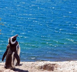 Pinguino di Magellano - Patagonia