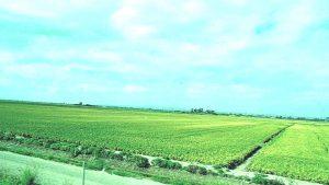 Campi di riso e canali lungo il tragitto per raggiunggere Il Parco Naturale dell'Albufera